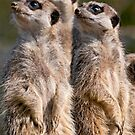 Watching Meerkats by FranWalding