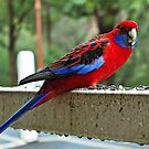 Rosella in the Rain by TonyCrehan