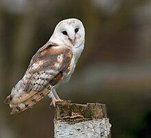 Barn Owl by FranWalding
