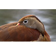 Whistling Duck.. Photographic Print