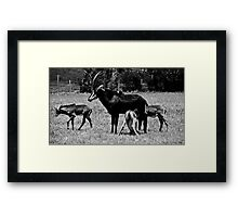 Antelope Feeding Framed Print