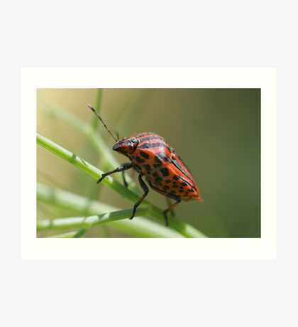 Italian Striped-Bug Art Print