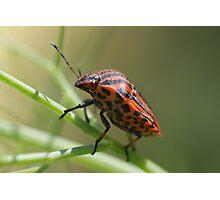 Italian Striped-Bug Photographic Print