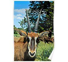 Antelope Looking at the Camera Poster