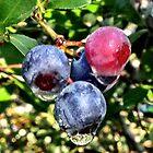 Blueberries in Morning Dew by Dan McKenzie
