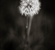 B&W Dandelion by GoldenRectangle