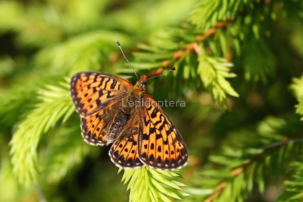 Open Wings - Lesser Marbled Fritillary - Brenthis ino by Lepidoptera