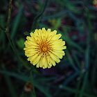 Yellow Dandelion by GoldenRectangle