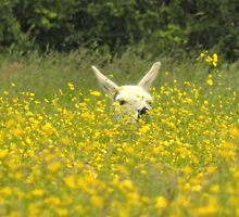 Llama basking amongst the buttercups by carolhynes