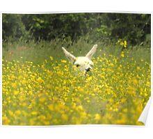 Llama basking amongst the buttercups Poster
