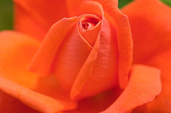 Orange High Sheriff  Rose by ImageItFoto