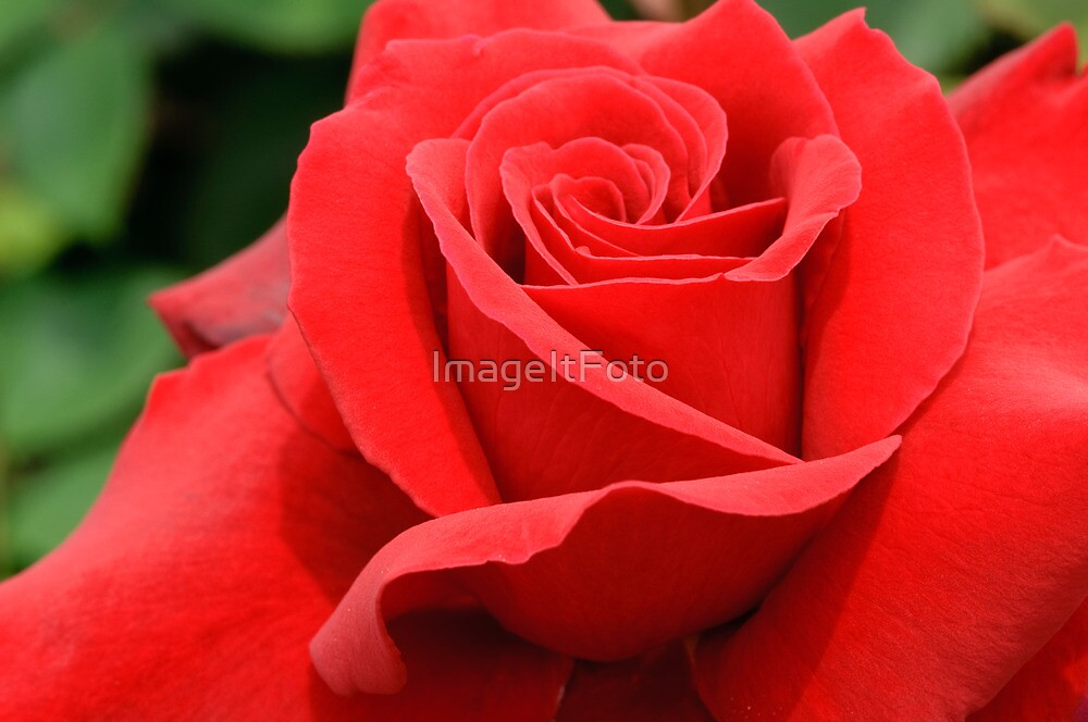 Red Velvet Rose by ImageItFoto
