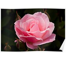 Queen Elizabeth Rose Poster