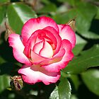 California Dreamin' Pink and White Rose by ImageItFoto
