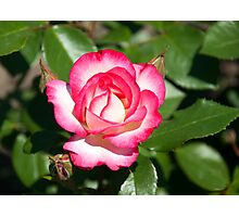 California Dreamin' Pink and White Rose Photographic Print