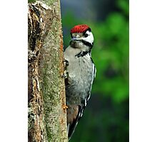 Juvenile ,Great Spotted Woodpecker Photographic Print
