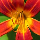 Luscious Lily by lorilee
