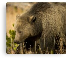 Grizzly Sow-Signed-#5036 Canvas Print