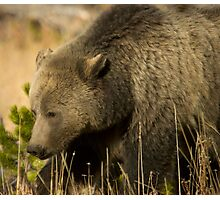 Grizzly Sow-Signed-#5036 Photographic Print