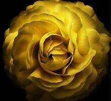 Yellow Rose by Simon Duckworth