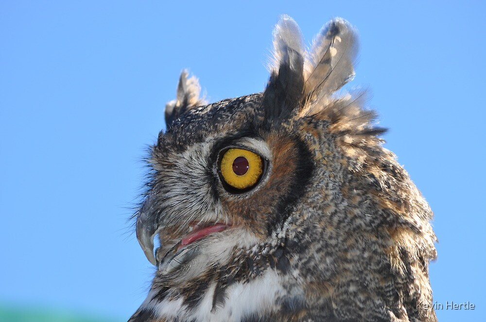 Great Horned Owl by Kevin Hertle