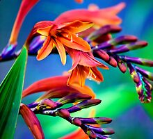 Blooming Crocosmia by Vicki Field