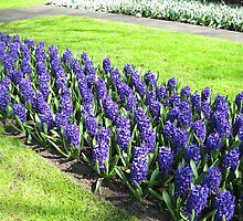Bed of Sunlit Hyacinths - Keukenhof Gardens by BlueMoonRose