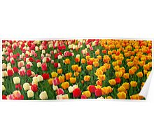 Tulips 5 Poster