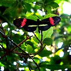 Crimson Patched Longwing Butterfly by CrystalFanning