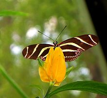 Zebra Butterfly on a Tropical Flower by CrystalFanning