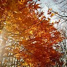 Sun through Japanese Maple by jrier