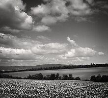 Sunflower Field by Imre Krénn