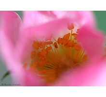 Dreamy dog rose Photographic Print