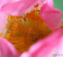 Dog rose beauty by Photos - Pauline Wherrell
