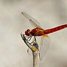 Immature Scarlet Darter by Robert Abraham
