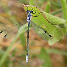 Female Dark Emerald Damselfly by Robert Abraham