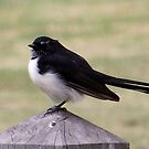 Willie Wagtail by SophiaDeLuna