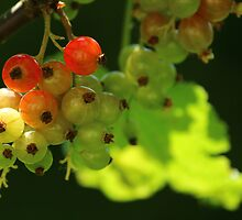Red Currants - Still Riping by karina5