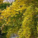 GINGKO TREE IN AUTUMN by Pauline Evans