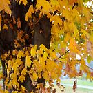 The Maple Tree in Autumn by Pauline Evans