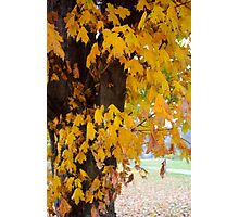 The Maple Tree in Autumn Photographic Print