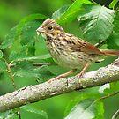 The Song Sparrow by lorilee
