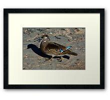 Femlae wood Duck Hen Framed Print