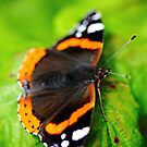 Red Admiral Butterfly by thermosoflask