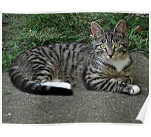 Sweet Little Stray Tiger Teenager Kitten [Mittens] Poster