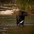 Young Grizzly Bear - Bella Coola, B.C. by Sue Ratcliffe
