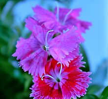 Dianthus by SB  Sullivan