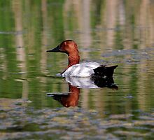 Canvasback by Larry Trupp