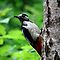 Great spotted woodpecker posing by Peter Wiggerman