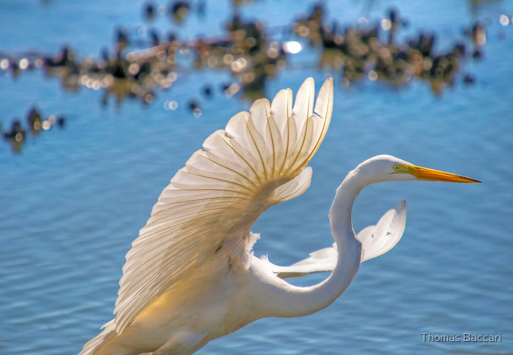 Egret Taking Off by TJ Baccari Photography